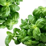 Fresh basil has a clove accent while dried basil has a curry-like flavour