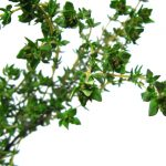 Thyme image