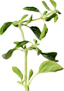 Carvacrol, an active component in oregano helps dissolve fat.