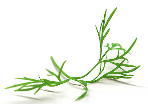 Dill leaves are wispy and fern-like and have a soft, sweet taste