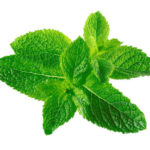 Mint is a herb much valued for its sweet, mellow flavour with hints of lemon