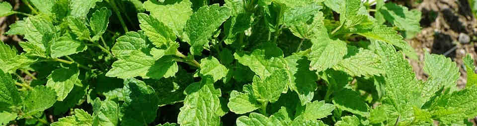 Mint plant ground cover