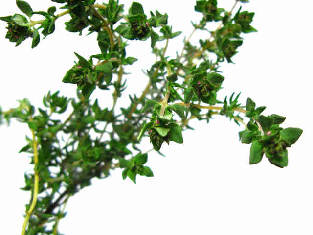 Thyme has a herbaceous and floral aroma.
