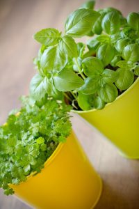 Choosing the herbs that can grow indoor and year-round will increase your success rate of growing them indoors year round