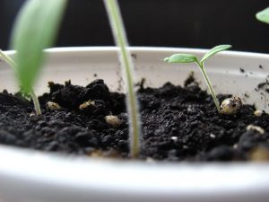 Parsley and cilantro are better to be grown from seeds