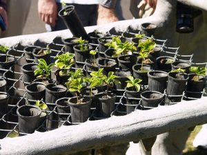Anyone who is new to growing herbs indoors may start off with transplanting nursery-bought seedlings.