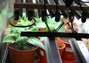 Grow lights is one way of replacing sunlight where indoor plants could not get enough