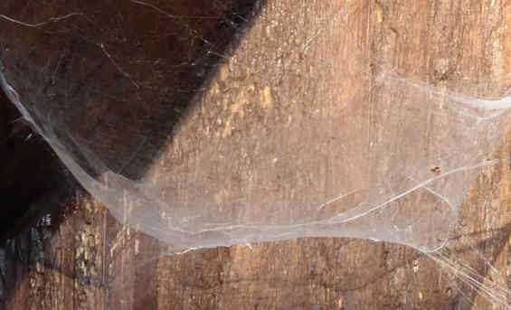 In order to get rid of cobwebs, you need to get rid of the spiders first, using common cooking spices