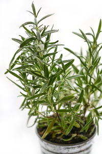 Rubbing against the rosemary plant will release the essential oils thus giving your dog a coat of protection on its fur and body.