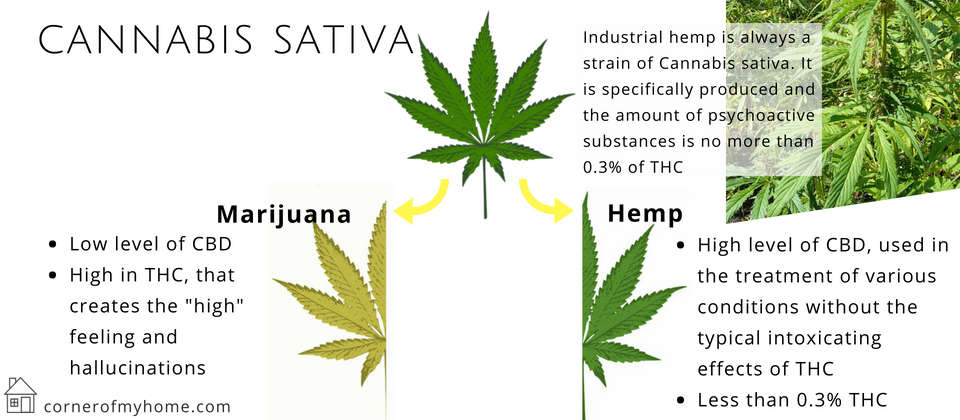 Marijuana and hemp are from the same plant that is Cannabis Sativa
