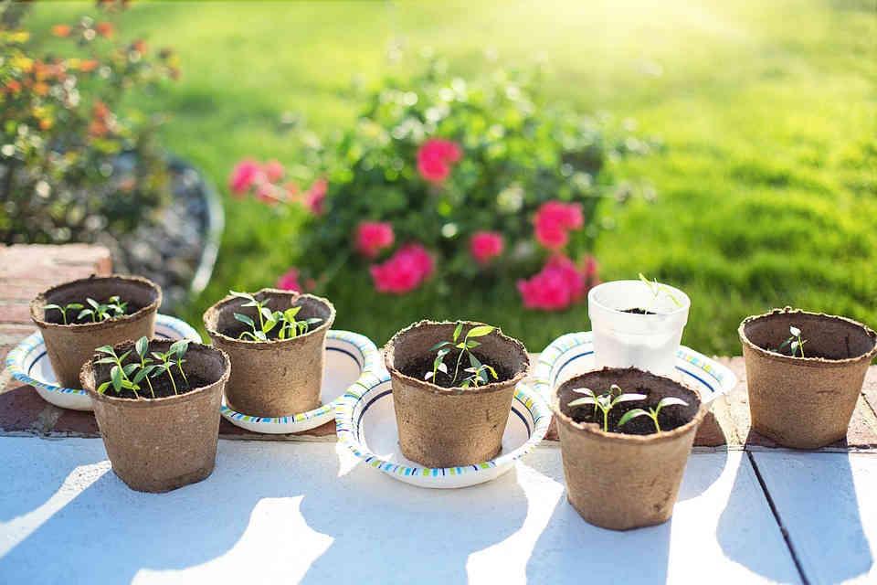 Growing herbs from seedlings