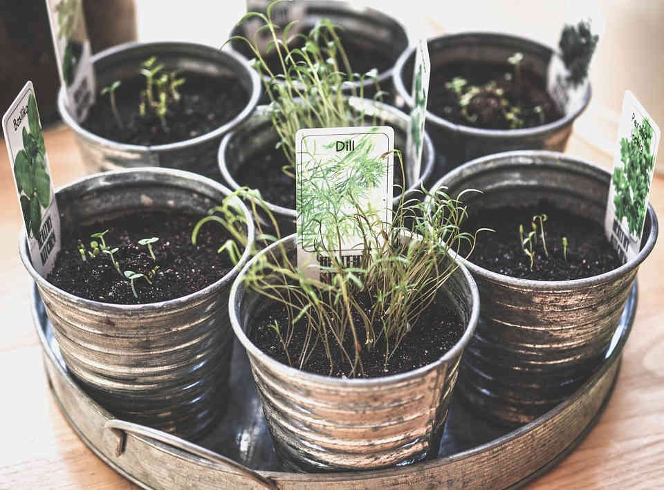 Grow your own herbs to get continuous supply of fresh herbs all year round
