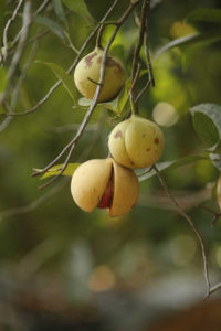 The nutmeg fruit is from this tropical evergreen tree, Myristica fragrans, originally from the Malluca Islands in the South Pacific