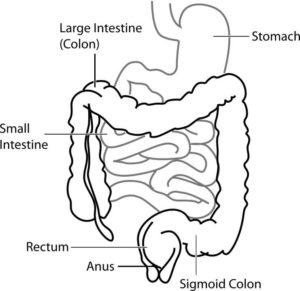 Human Anatomy Digestive System