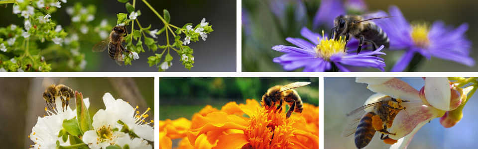 Honey bee feeding on flowers