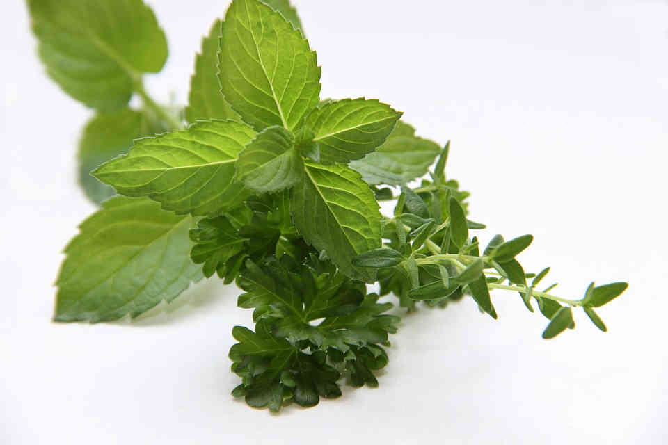 Both mint and thyme herb are beneficial for cough