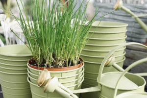 Chives grow best in moist but well-drained soil and they are very easy to look after with minimal attention